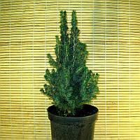 """Ялина канадська - Picea glauka """"Conica"""", фото 1"""