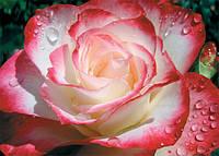 Фотообои,  Утренняя роса, 8 листов, размер 196х140 см