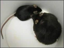 ГМО мыши позволили выявить новый «ген ожирения»