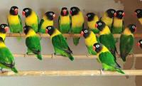 Неразлучник Масковый попугай зеленый (Agapornis personatus)