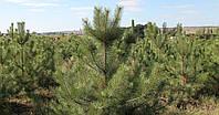 Сосна Крымская от 1,50 до 3 метров