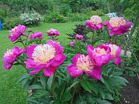 ТОП-7 найпопулярніших питань про півонії: відповіді досвідченого квітникаря.