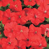 Семена Петуния Карлик красный F1,  50 семян Cerny Seed Садыба Центр
