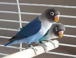 Неразлучник Масковый попугай синего окраса (Agapornis personatus), фото 5