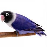 Неразлучник Масковый попугай синего окраса (Agapornis personatus), фото 7