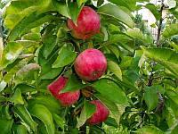 Саджанці яблуні АРБАТ колоновидної (дворічний) осінній термін дозрівання