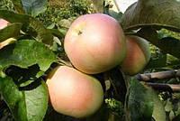 Саженцы яблони БЕЗГУДА (двухлетний) позднелетний