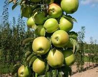 Саженцы яблони БЕЛОСНЕЖКА колоновидной (двухлетний)