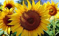 Семена подсолнечника Торсун (108 — 112 дней)