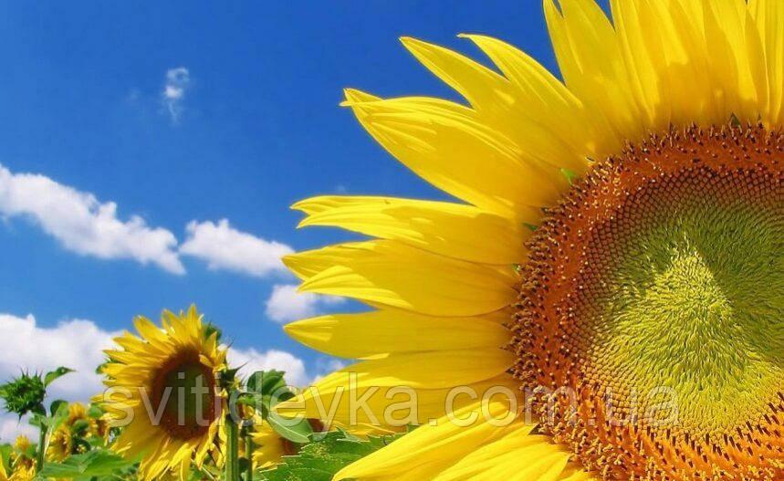 Семена подсолнечника Голден (А–F) (100 — 108 дней) - ООО Горизонт Днепр в Днепре