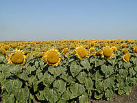 Семена подсолнечника Ларедо Clearfield® (115-118 дней)