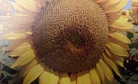 Семена подсолнечника Талса (95-102 дней)