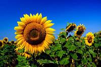 Семена подсолнечника Батавия Clearfield® (98-103 дней)