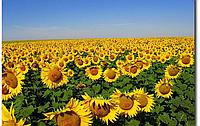 Семена подсолнечника Эдисон (A-F) (72-76 суток)