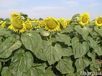 Семена подсолнечника Плано (A-F) (80-85 дней)