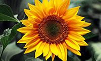 Семена подсолнечника Пронто (А-Н) (100 — 108 дней)