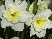 Нарцисс корончатый Ice folies, 2 луковицы