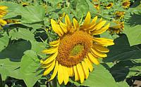 Семена подсолнечника Дентон (112-116 дней)