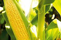 Гибрид кукурузы АС 34003 раннеспелый ФАО 180