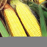 Гибрид кукурузы АС 33003 раннеспелый