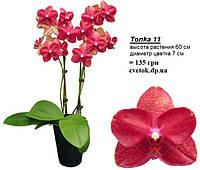 Подростки орхидеи. Сорт Tonka