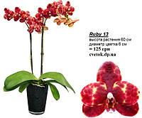 Подростки орхидеи. Сорт Ruby