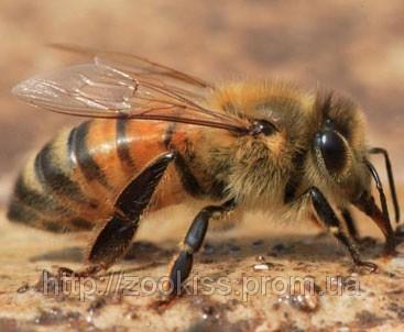 Профилактика и способы лечения варроатоза пчелиных семей