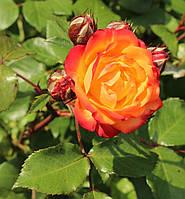 """Саженцы роз """"Румба"""""""