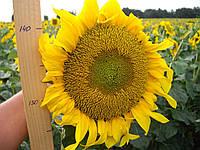 Семена подсолнечника Дунай, 118-122 дня