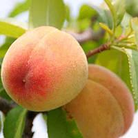 Саженцы персика сорт Кросби