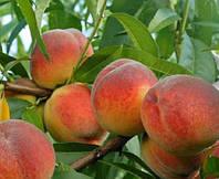Саженцы персика сорт Флеминг Фюри