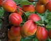 Саженцы абрикоса сорт Харогем