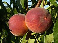 Саженцы персика сорт Харроу Даймонд