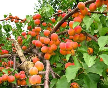 Саженцы абрикоса сорт Красень Киева