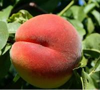 Саженцы персика сорт Кондор