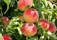 Саженцы абрикоса сорт Июньский