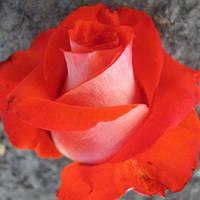 Саженец роз чайно-гибридной ВЕРАНО