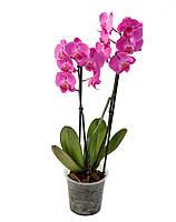 Орхидея Фаленопсис 2 Ветки Микс