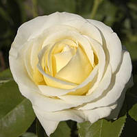 Саженцы роз сорт Chopin (Шопен)