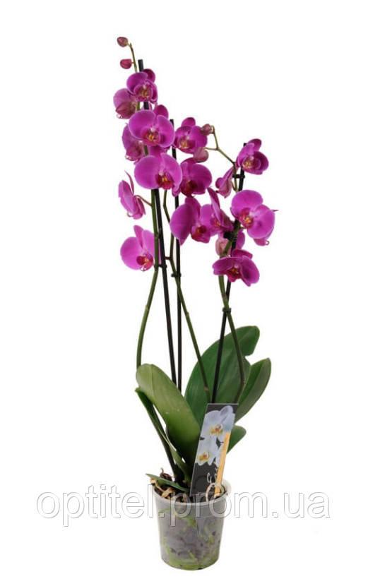 Орхидея Фаленопсис 3 ветки Микс
