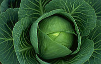 Семена капусты белокачянной Куізор F1