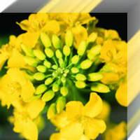 Семена озимого рапса Висби