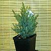Кипарисовик горохоподібний - Chamaecyparis pisifera Squarrosa