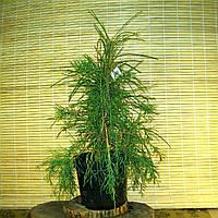 Туя західна  - Thuja occidentalis Filiformis