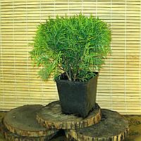 Туя західна - Thuja occidentalis Umbraculifera