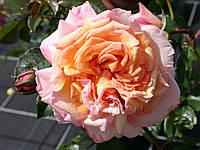 "Саженцы роз ""Барокко"" (""Барок""), фото 1"