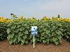 Семена подсолнечника НС Таурус (под Евролайтинг), один из самых урожайных гибридов сербской селекции, 57 ц/га