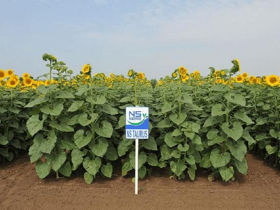 Семена подсолнечника НС Таурус (под Евролайтинг), один из самых урожайных гибридов сербской селекции, 57 ц/га, фото 2