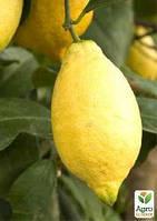 """Лимон """"Лунарио"""" возраст саженца 2 года"""