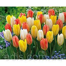 Арт-набор Династия (ранние тюльпаны, 9 луковиц)